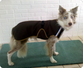 Jacob the Border Collie in his chocolate Polartec coat with custom trim.