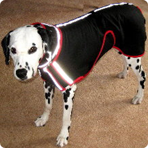Dalmatian dog sporting his custom fitted coat.