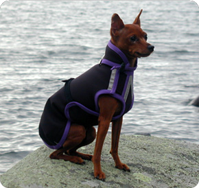 Miniature Pinscher coat black Polartec with purple trim.